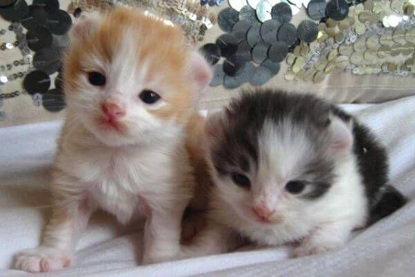 अमेरिकी कर्ल बिल्ली के बच्चे