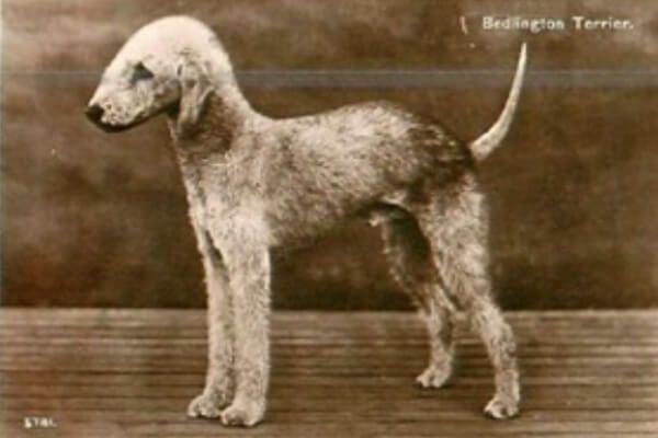 मूल और इतिहास कुत्ते बेडलिंगटन टेरियर