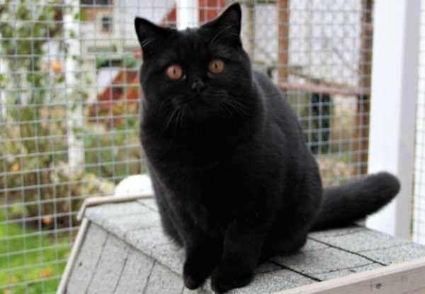 ब्रिटिश शॉर्टएयर काली बिल्ली