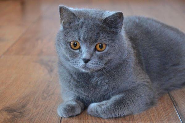 ब्रिटिश शॉर्टएयर नीली बिल्ली