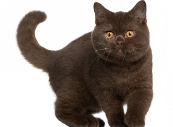 ब्रिटिश छोटे बाल बिल्ली चॉकलेट