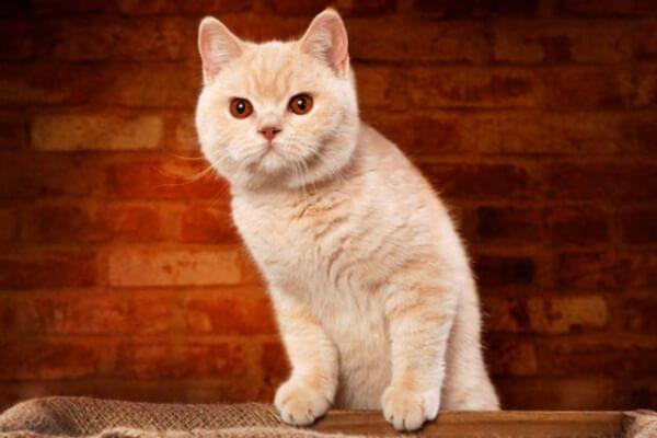 ब्रिटिश छोटी बालों वाली क्रीम बिल्ली