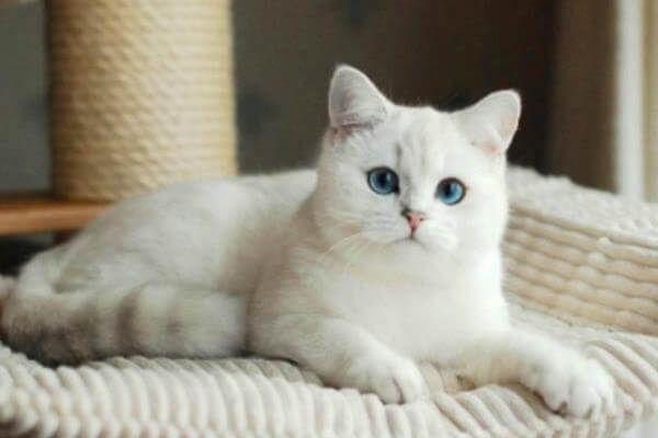 सफेद छोटे बाल के साथ ब्रिटिश बिल्ली