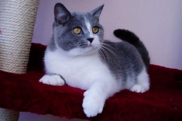 ब्रिटिश छोटे बाल बिल्ली bicolor नीले और सफेद