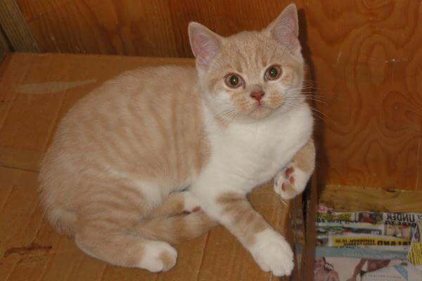ब्रिटिश छोटे बाल क्रीम और सफेद बिल्ली
