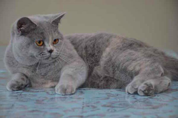 ब्रिटिश बिल्ली छोटे बाल क्रीम नीली