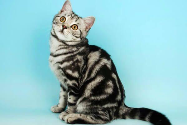 लघु बालों वाली ब्रिटिश बिल्ली देखा