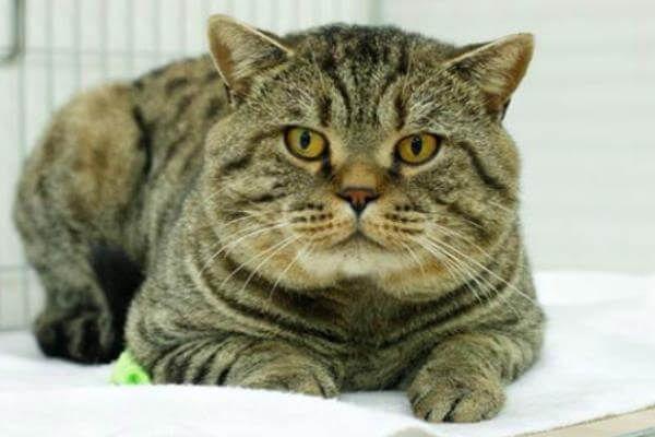 ब्रिटिश शॉर्टएयर टैब्बी बिल्ली