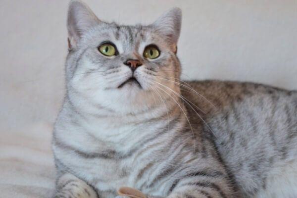 ब्रिटिश शॉर्टएयर ब्लू टैब्बी बिल्ली