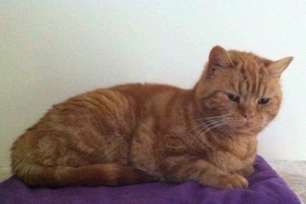 ब्रिटिश शॉर्टएयर लाल टैब्बी बिल्ली