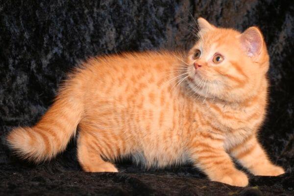 ब्रिटिश बिल्ली छोटी बालों वाली टैब्बी मैकेरल लाल