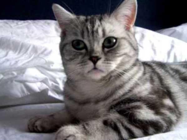 ब्रिटिश बिल्ली छोटे बाल चांदी का रंग