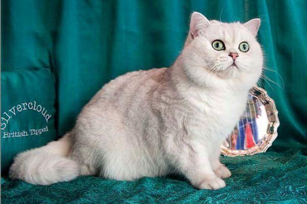 छोटे बाल के साथ ब्रिटिश बिल्ली tipped