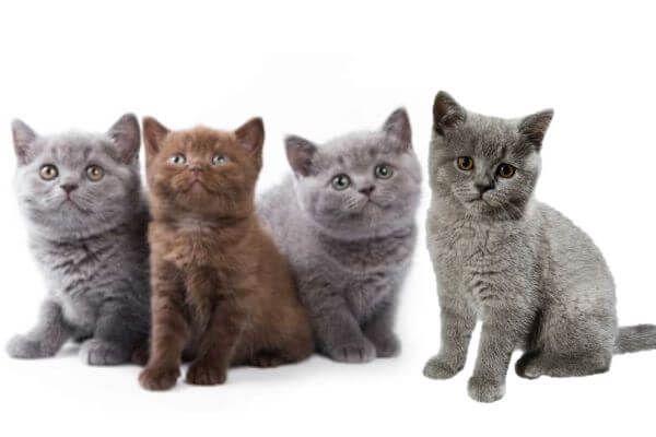 बिल्ली ब्रिटिश शॉर्टएयर गोद लेने