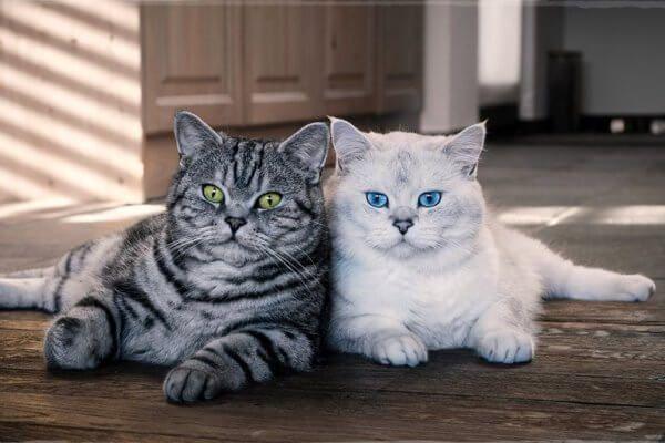 बिल्ली नस्ल ब्रिटिश शॉर्टएयर सुविधाएँ