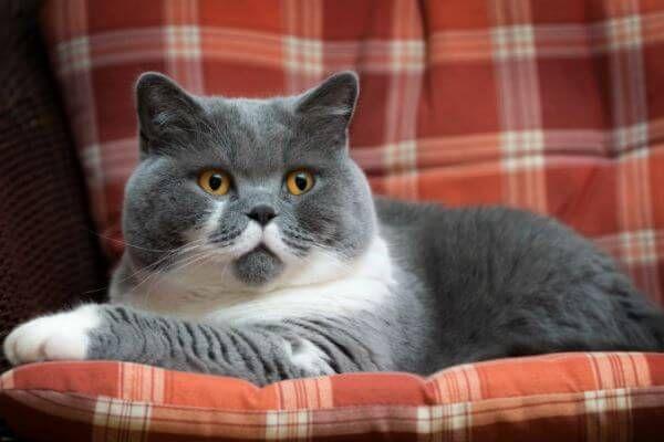 ब्रिटिश शॉर्टएयर बिल्ली नस्ल