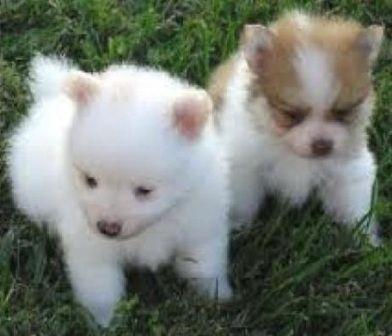 Pomeranian नवजात पिल्ले की देखभाल कैसे करें
