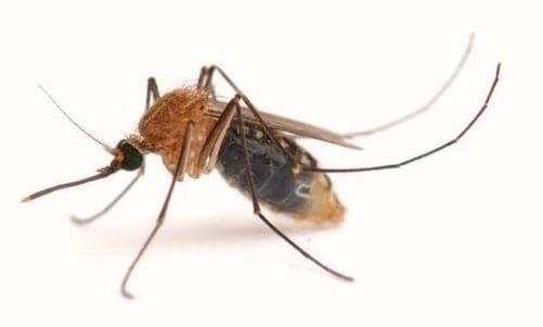 मच्छर परजीवी leishmania