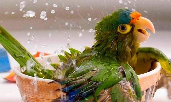 मैं अपने तोते को कैसे स्नान कर सकता हूं