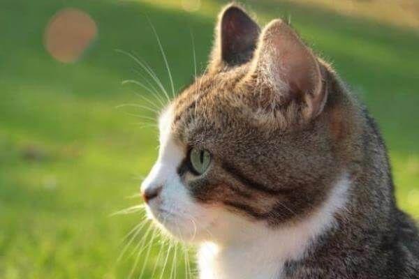 बिल्ली का बच्चा ल्यूकेमिया उपचार