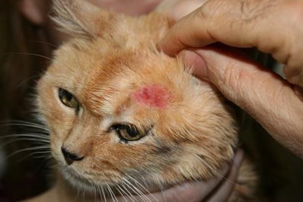 एक बिल्ली के संकेत fleas है