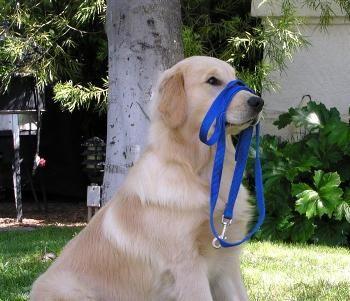 एक कुत्ते को पैदल चलने के लिए कैसे प्रशिक्षित करें