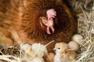 ब्रूडी मुर्गी के लिए सुझाव