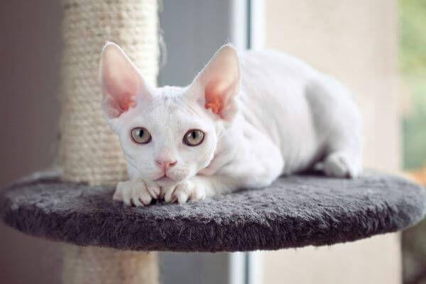 एक बिल्ली devon रेक्स की देखभाल कैसे करें