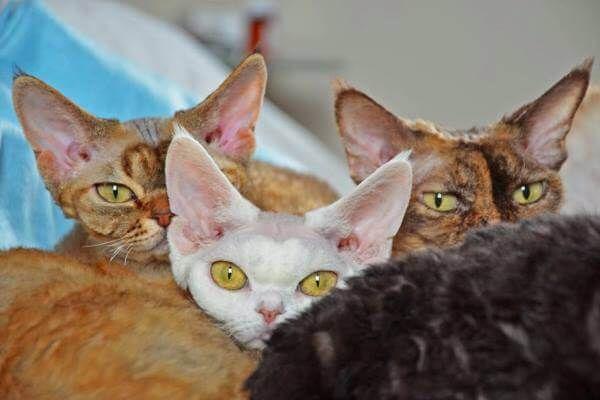 बिल्ली रेस डेवन रेक्स रंग