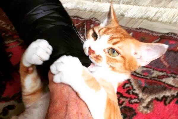 बिल्ली रेस डेवन रेक्स का व्यवहार कैसा है