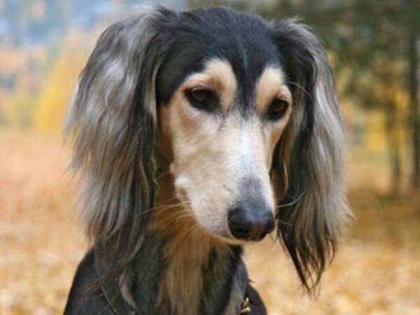 Saluki कुत्ते शारीरिक विशेषताओं नस्ल