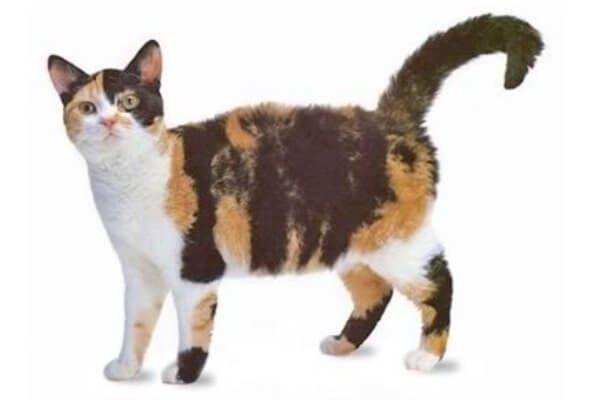 इतिहास और मूल अमेरिकी वायरहेयर बिल्ली