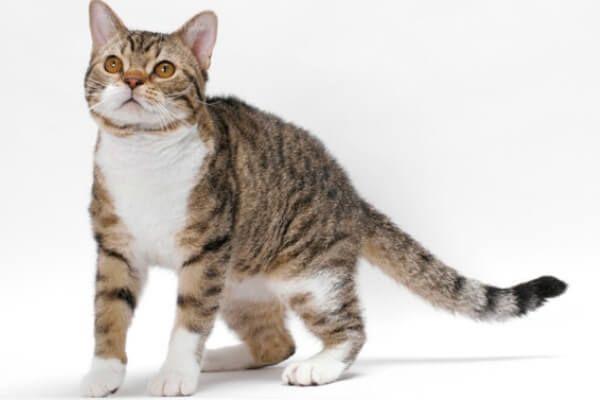 अमेरिकी wirehair बिल्ली नस्ल