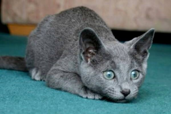 मुफ्त नीली रूसी बिल्ली