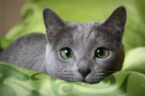 रूसी नीली बिल्ली परवाह करता है