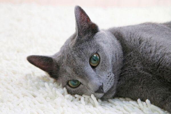 रूसी नीली बिल्ली रोग