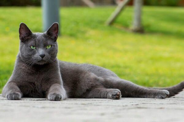 नीली बिल्ली रूसी लंबे बाल