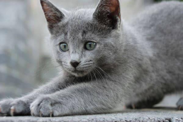 रूसी नीली बिल्ली स्वभाव कैसा है