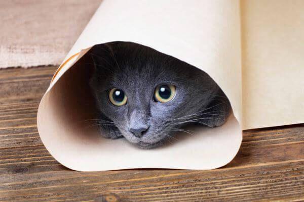 नीली रूसी बिल्ली पॉज़