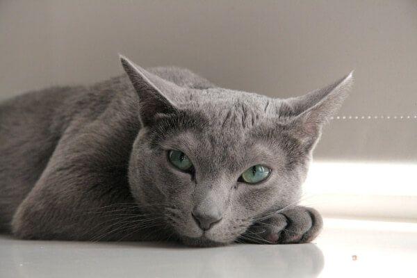 रूसी नीली बिल्ली की उत्पत्ति