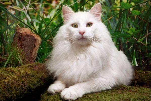 नॉर्वे वन बिल्ली सफेद रंग
