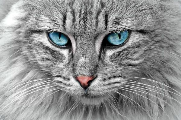 नॉर्वे वन बिल्ली उपस्थिति