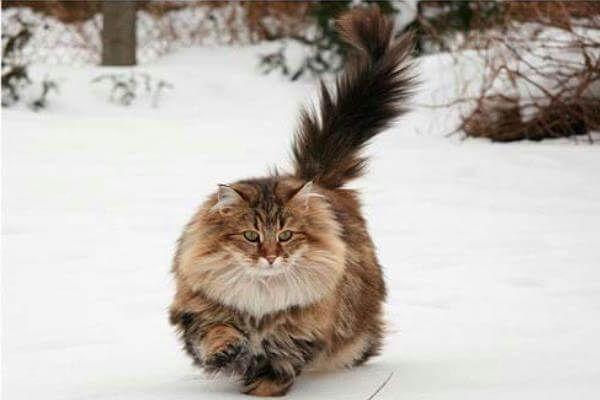 नॉर्वे वन बिल्ली इतिहास