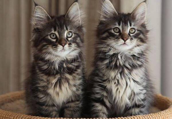 नॉर्वे वन बिल्ली की देखभाल कैसे करें