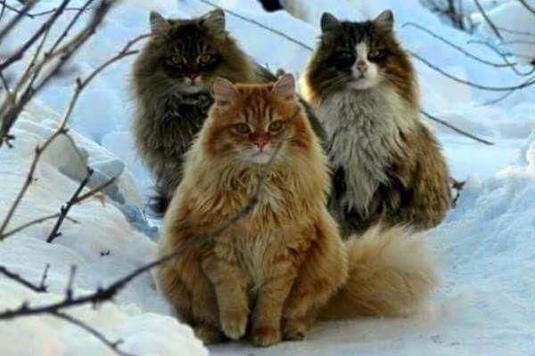 नॉर्वे वन बिल्ली रंग बाल