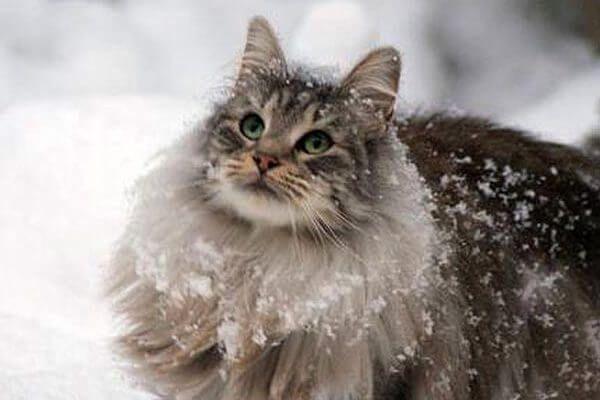 नॉर्वे वन बिल्ली के प्रकार
