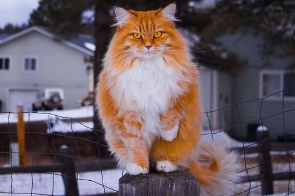नॉर्वे वन बिल्ली लाल और सफेद