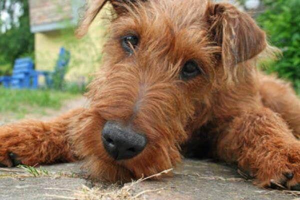 आयरिश टेरियर कुत्ते नस्लों की बीमारियां