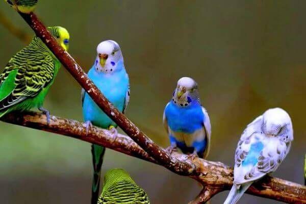 प्यारा रंग parakeets