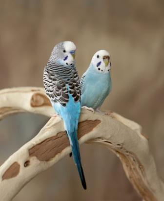 Autralian parakeets या लघु तोते